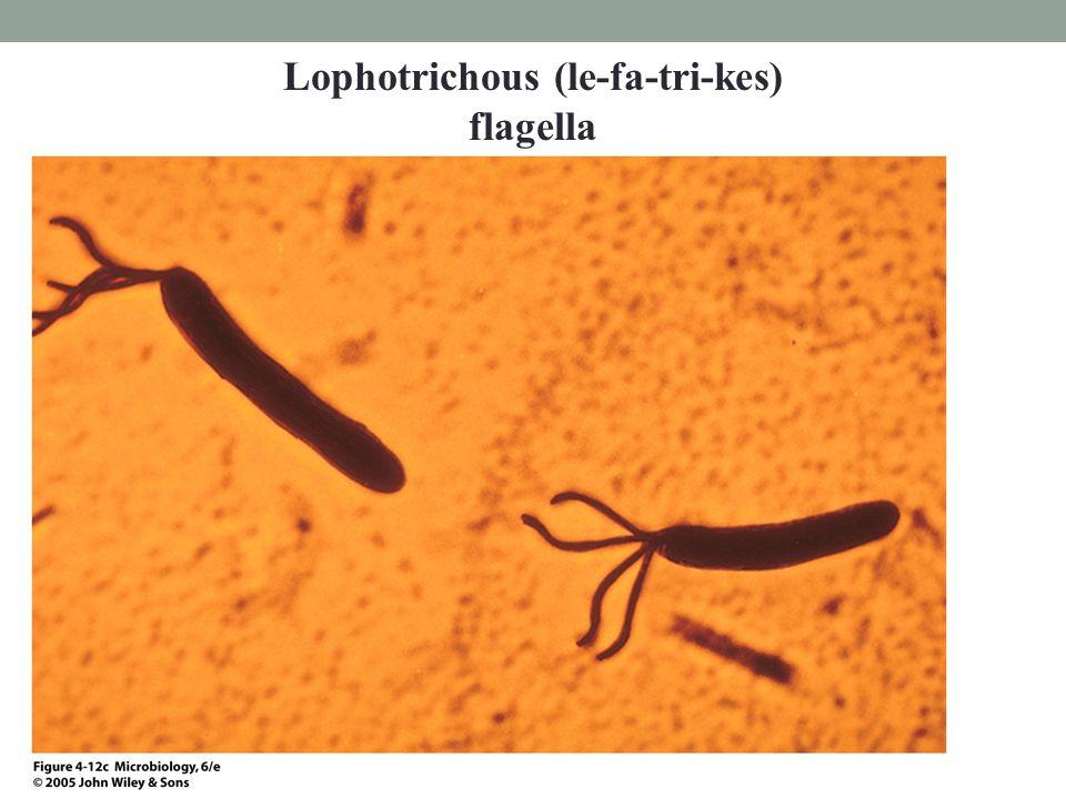 Lophotrichous (le-fa-tri-kes) flagella