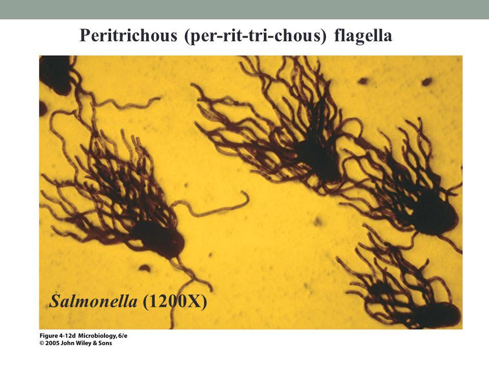 Salmonella (1200X) Peritrichous (per-rit-tri-chous) flagella
