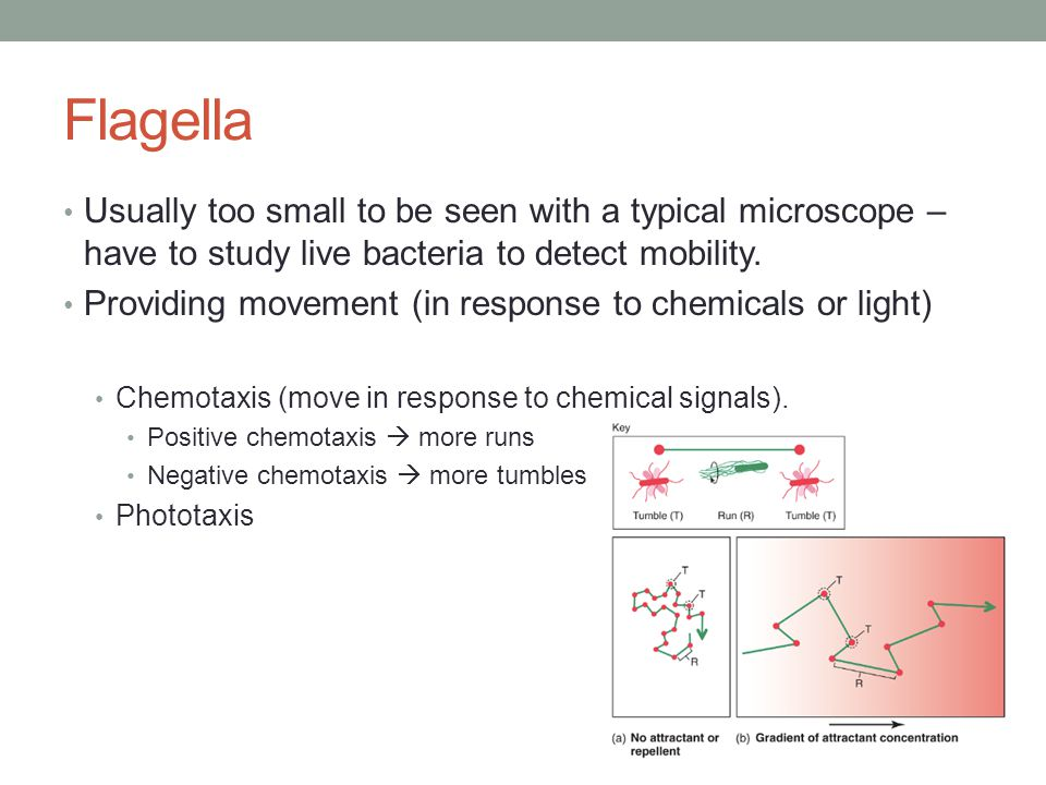 Flagella Usually too small to be seen with a typical microscope – have to study live bacteria to detect mobility.