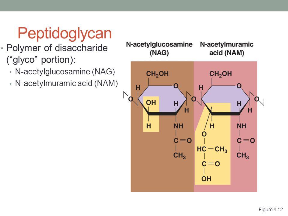 Figure 4.12 Peptidoglycan Polymer of disaccharide ( glyco portion): N-acetylglucosamine (NAG) N-acetylmuramic acid (NAM)