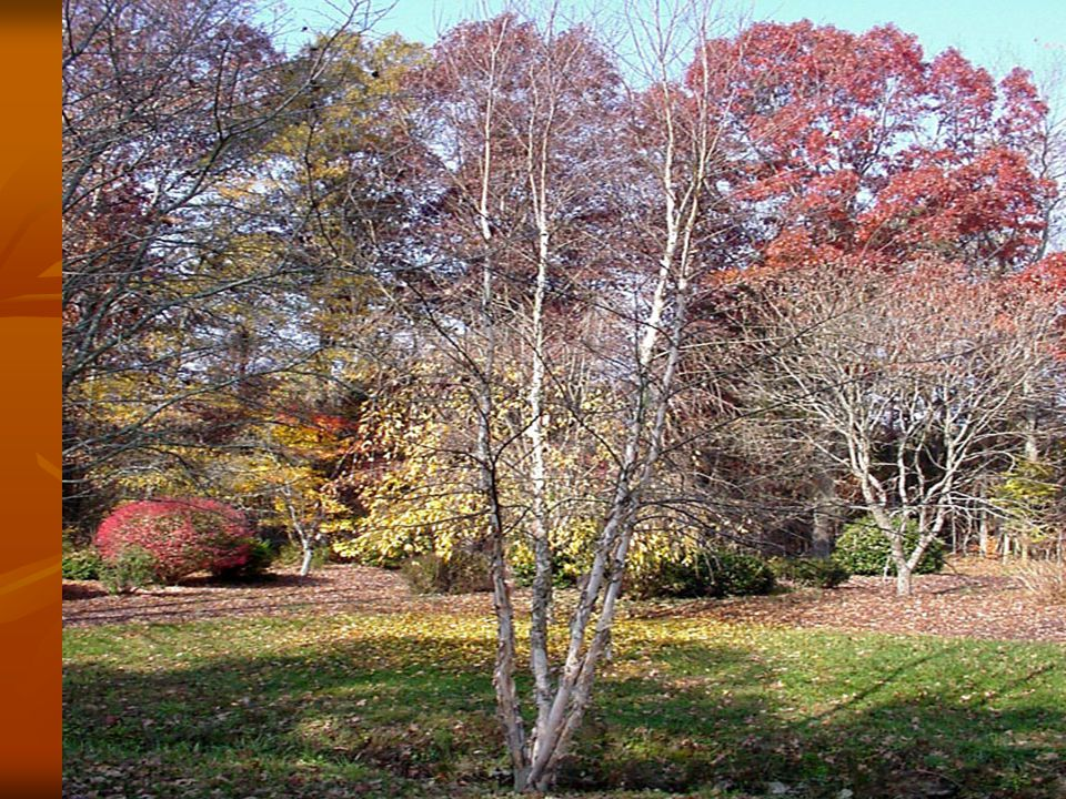 Other Information Multi-stemmed Multi-stemmed Winter interest (Bark) Winter interest (Bark) Tolerant of soggy soils Tolerant of soggy soils