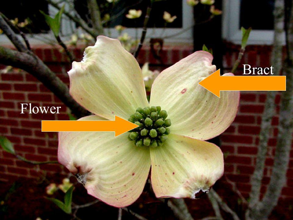 Flower Bract