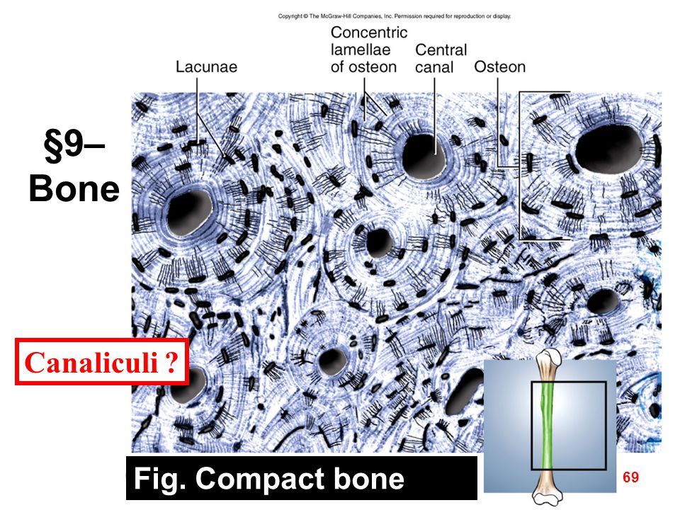 Fig. Compact bone 69 Canaliculi ? §9– Bone