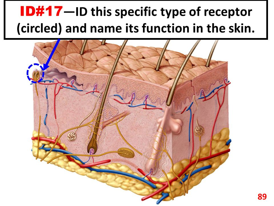 ID#17 —ID this specific type of receptor (circled) and name its function in the skin. 89