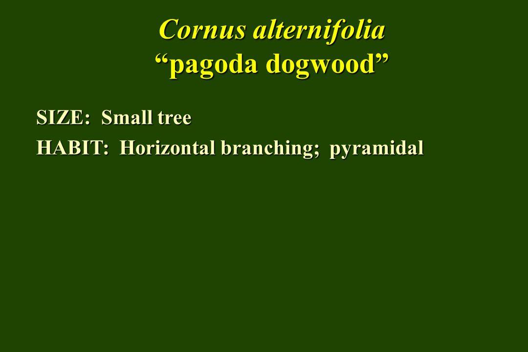 "Cornus alternifolia ""pagoda dogwood"" SIZE: Small tree HABIT: Horizontal branching; pyramidal"
