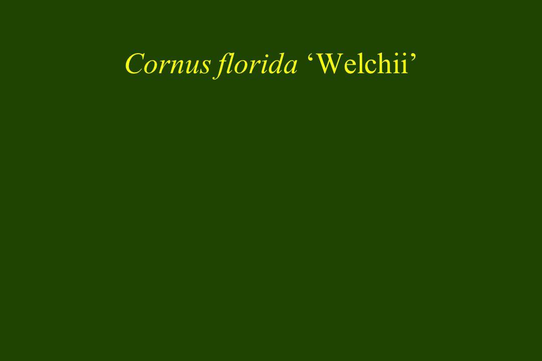 Cornus florida 'Welchii'