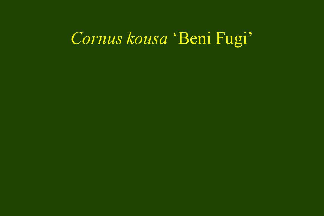 Cornus kousa 'Beni Fugi'