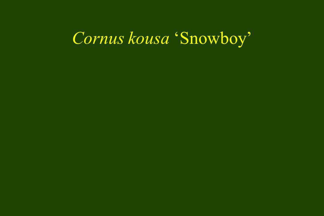 Cornus kousa 'Snowboy'