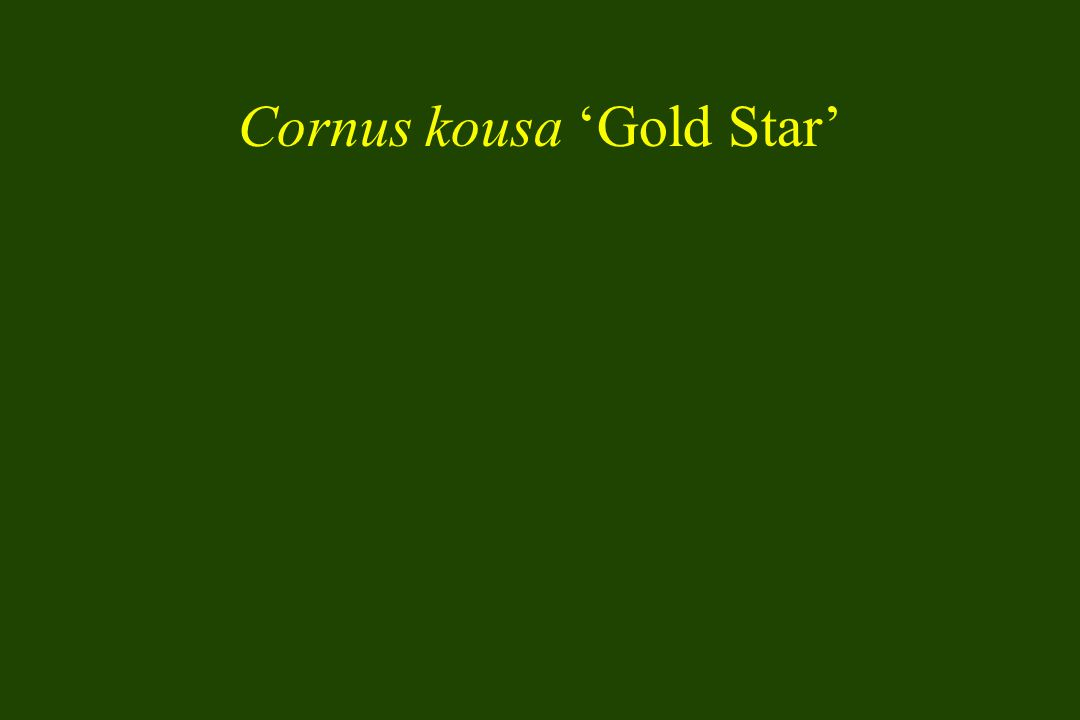 Cornus kousa 'Gold Star'