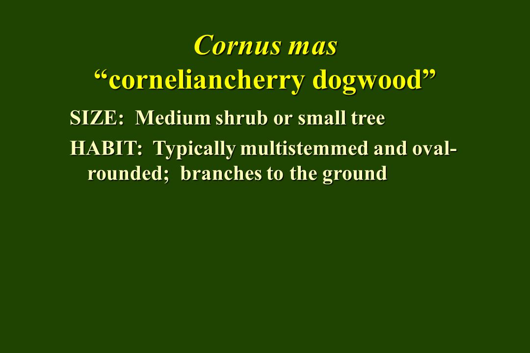 """Cornus mas """"corneliancherry dogwood"""" SIZE: Medium shrub or small tree HABIT: Typically multistemmed and oval- rounded; branches to the ground"""