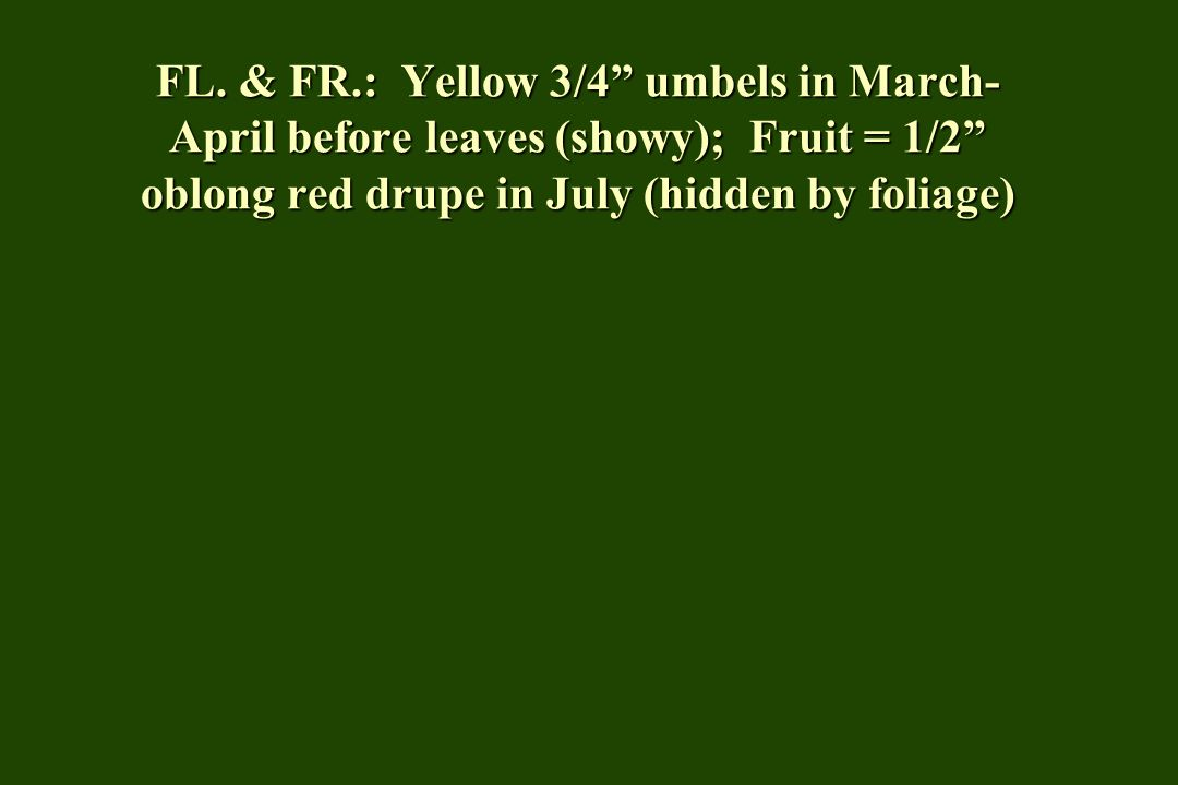 """FL. & FR.: Yellow 3/4"""" umbels in March- April before leaves (showy); Fruit = 1/2"""" oblong red drupe in July (hidden by foliage)"""