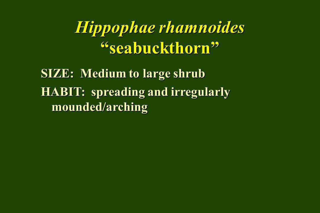 """Hippophae rhamnoides """"seabuckthorn"""" SIZE: Medium to large shrub HABIT: spreading and irregularly mounded/arching"""