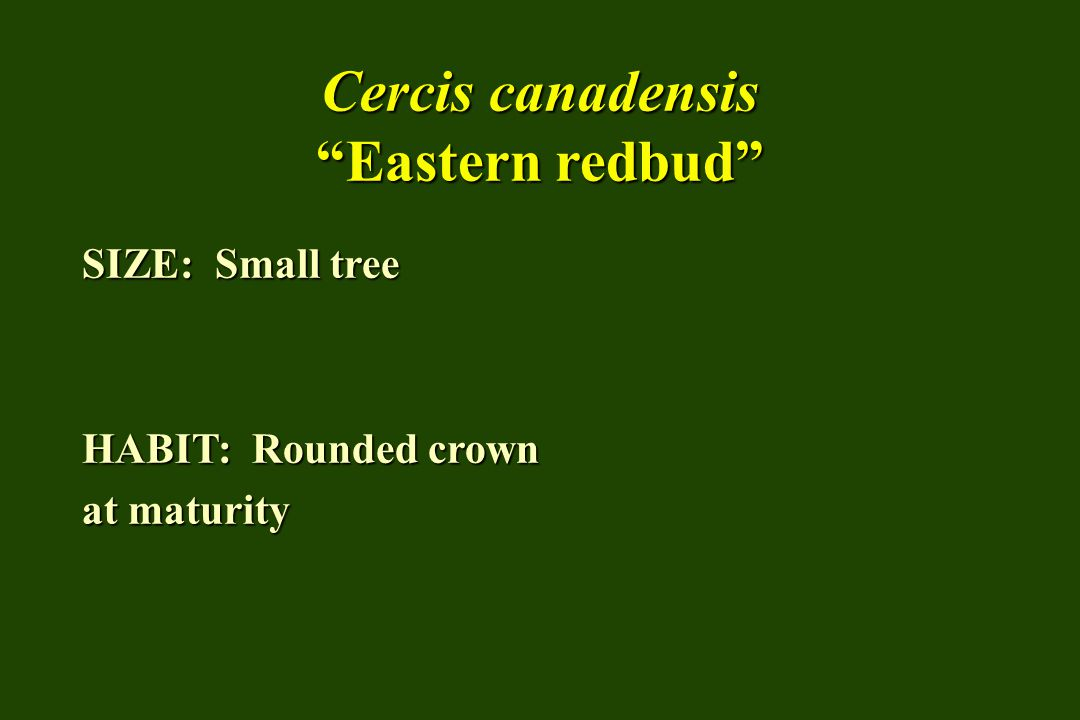 """Cercis canadensis """"Eastern redbud"""" SIZE: Small tree HABIT: Rounded crown at maturity"""