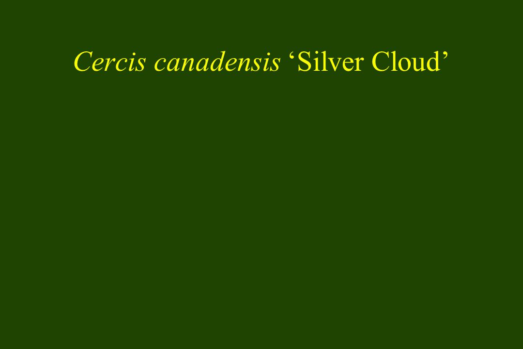 Cercis canadensis 'Silver Cloud'