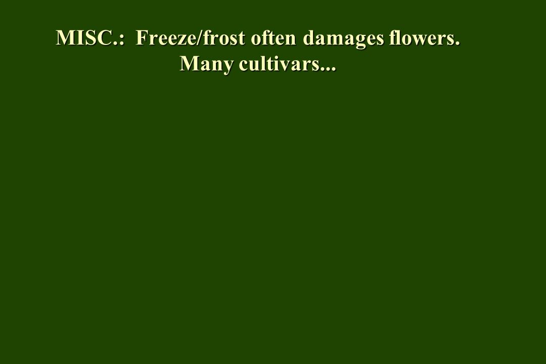 MISC.: Freeze/frost often damages flowers. Many cultivars...