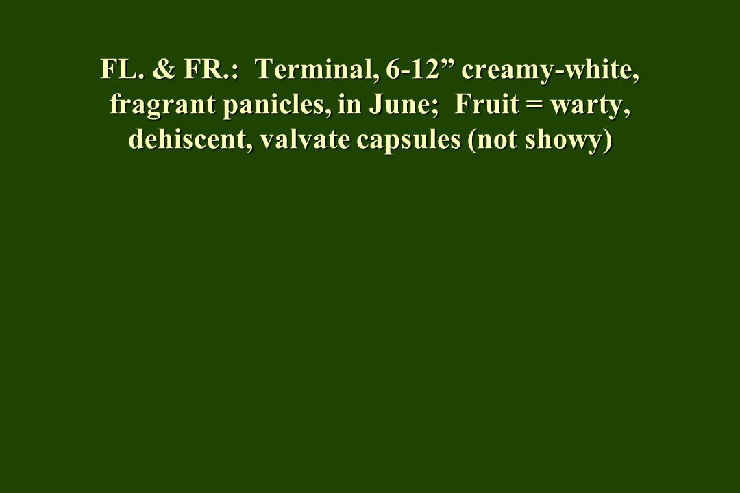 """FL. & FR.: Terminal, 6-12"""" creamy-white, fragrant panicles, in June; Fruit = warty, dehiscent, valvate capsules (not showy)"""