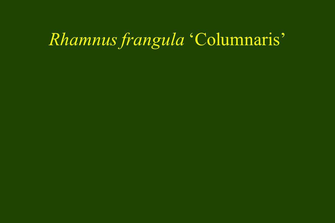 Rhamnus frangula 'Columnaris'