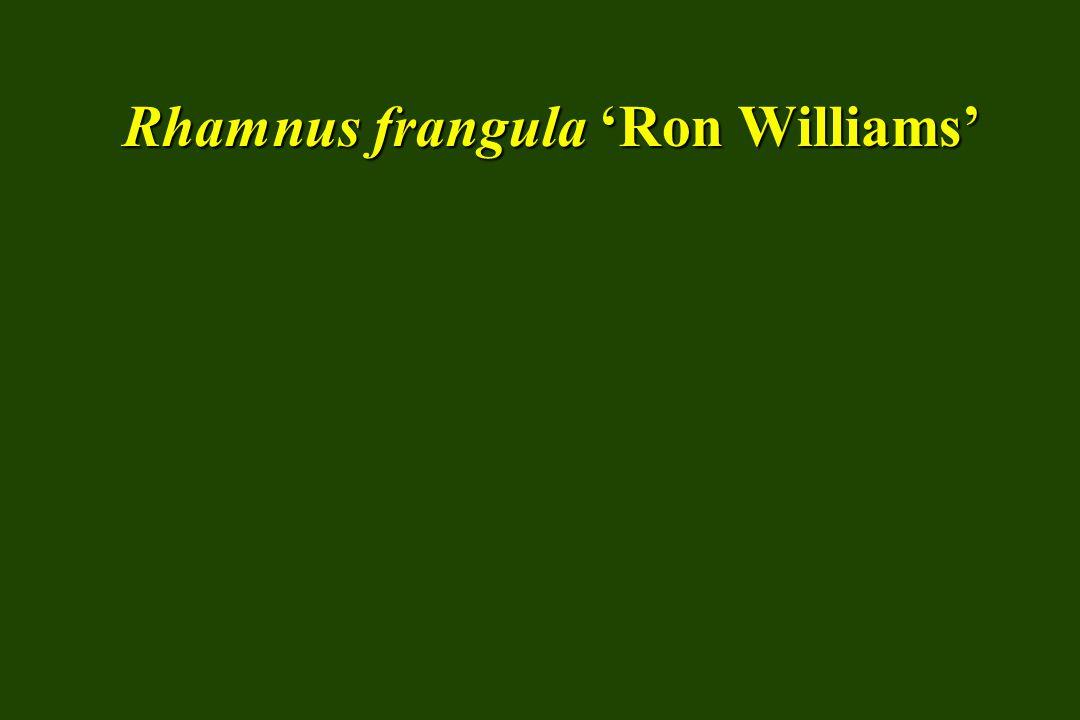 Rhamnus frangula 'Ron Williams'