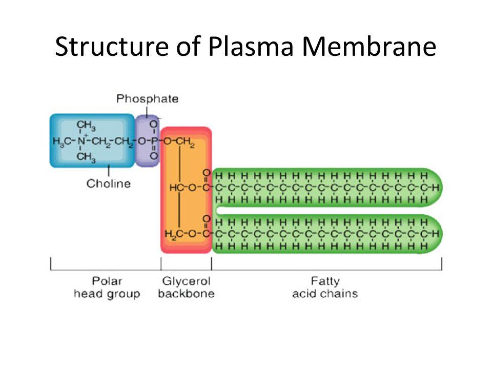 Structure of Plasma Membrane
