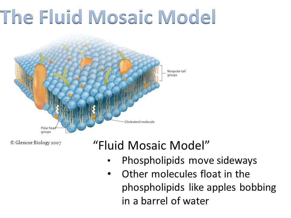 "© Glencoe Biology 2007 ""Fluid Mosaic Model"" Phospholipids move sideways Other molecules float in the phospholipids like apples bobbing in a barrel of"