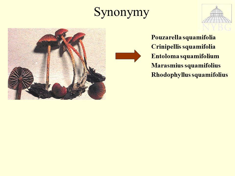 Pouzarella squamifolia Crinipellis squamifolia Entoloma squamifolium Marasmius squamifolius Rhodophyllus squamifolius Synonymy