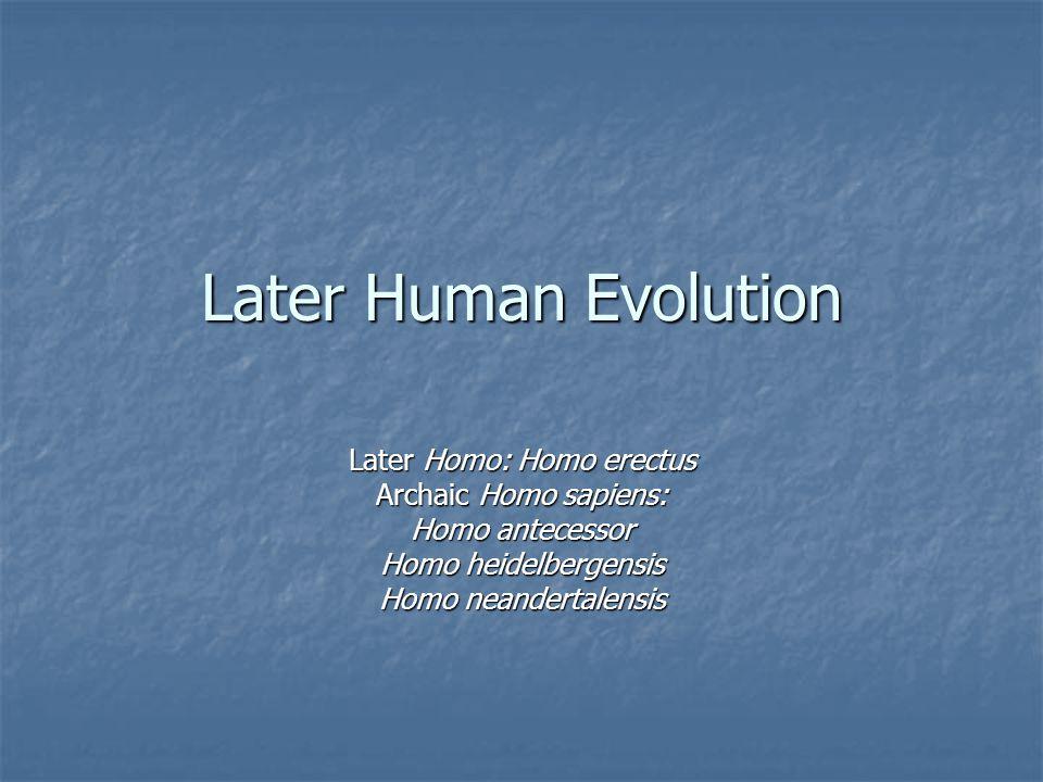 Later Human Evolution Later Homo: Homo erectus Archaic Homo sapiens: Homo antecessor Homo heidelbergensis Homo neandertalensis