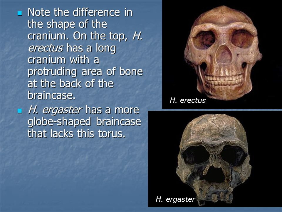 Note the difference in the shape of the cranium. On the top, H.