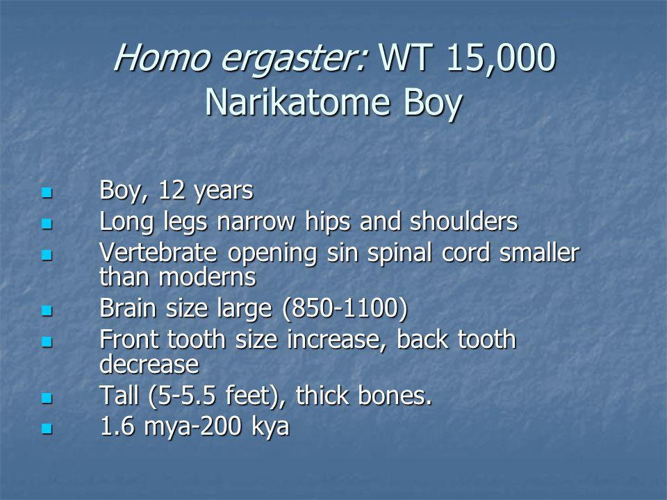 Homo ergaster: WT 15,000 Narikatome Boy Boy, 12 years Boy, 12 years Long legs narrow hips and shoulders Long legs narrow hips and shoulders Vertebrate