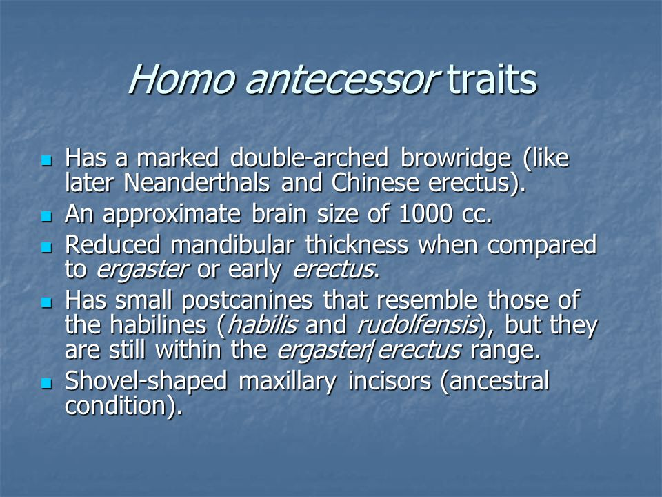 Homo antecessor traits Has a marked double-arched browridge (like later Neanderthals and Chinese erectus). Has a marked double-arched browridge (like