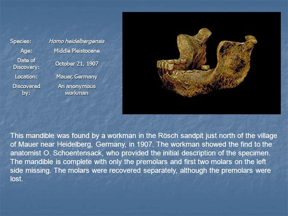 Species: Homo heidelbergensis Age: Middle Pleistocene Date of Discovery: October 21, 1907 Location: Mauer, Germany Discovered by: An anonymous workman This mandible was found by a workman in the Rösch sandpit just north of the village of Mauer near Heidelberg, Germany, in 1907.