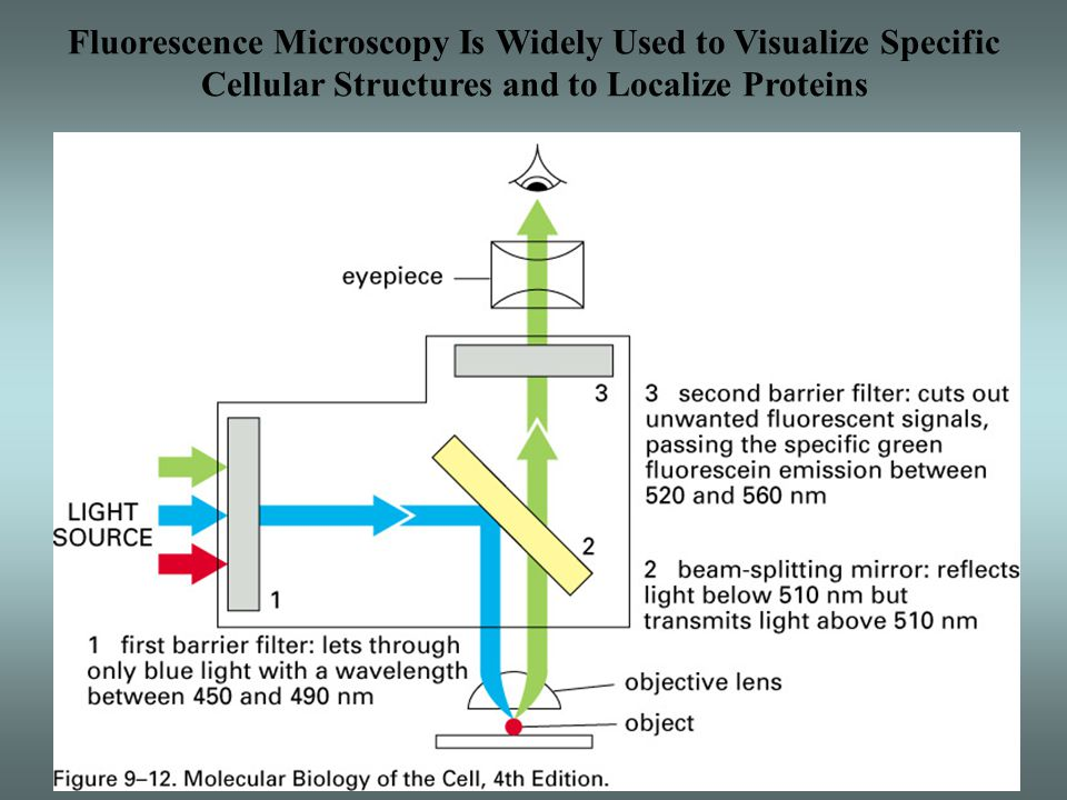 Fluorescence Microscopy Is Widely Used to Visualize Specific Cellular Structures and to Localize Proteins