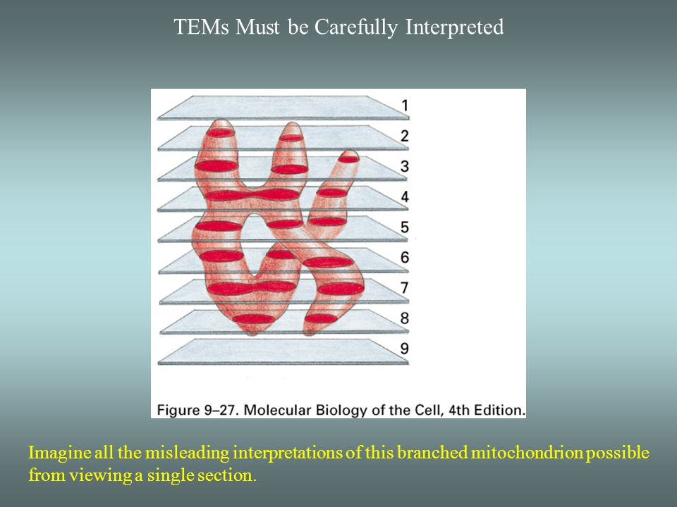 TEMs Must be Carefully Interpreted Imagine all the misleading interpretations of this branched mitochondrion possible from viewing a single section.
