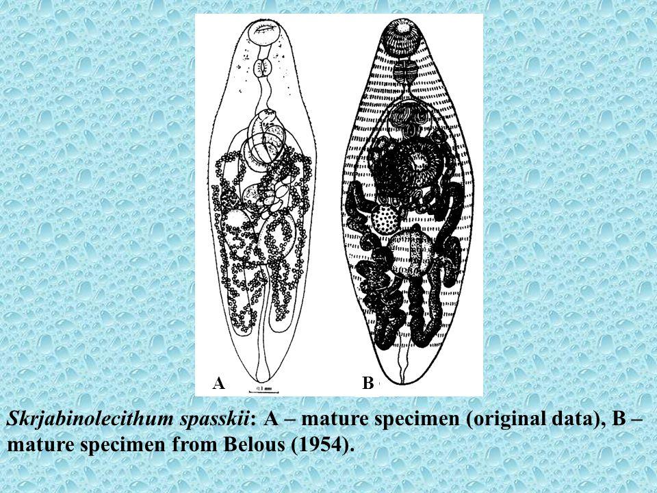 Skrjabinolecithum spasskii: А – mature specimen (original data), B – mature specimen from Belous (1954). A B