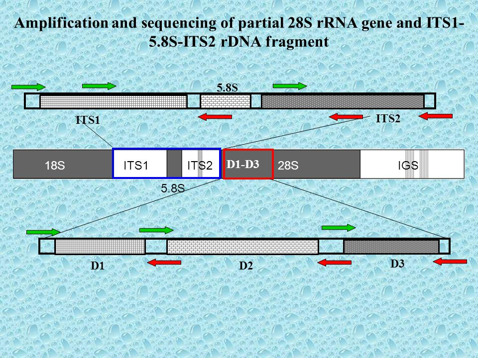 18SITS1ITS228S 5.8S IGS Amplification and sequencing of partial 28S rRNA gene and ITS1- 5.8S-ITS2 rDNA fragment D1-D3 D2D1 D3D3 5.8S ITS1 ITS2