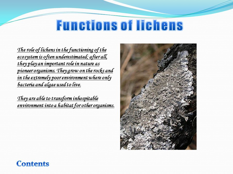 The role of lichens in the functioning of the ecosystem is often underestimated; after all, they play an important role in nature as pioneer organisms.