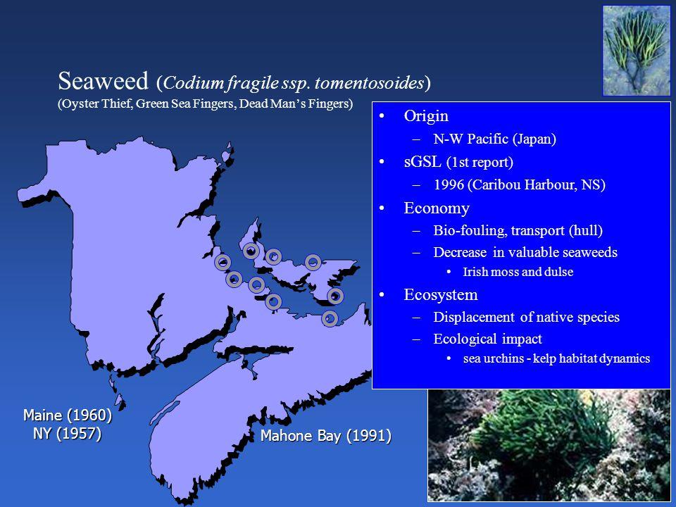 Seaweed (Codium fragile ssp.