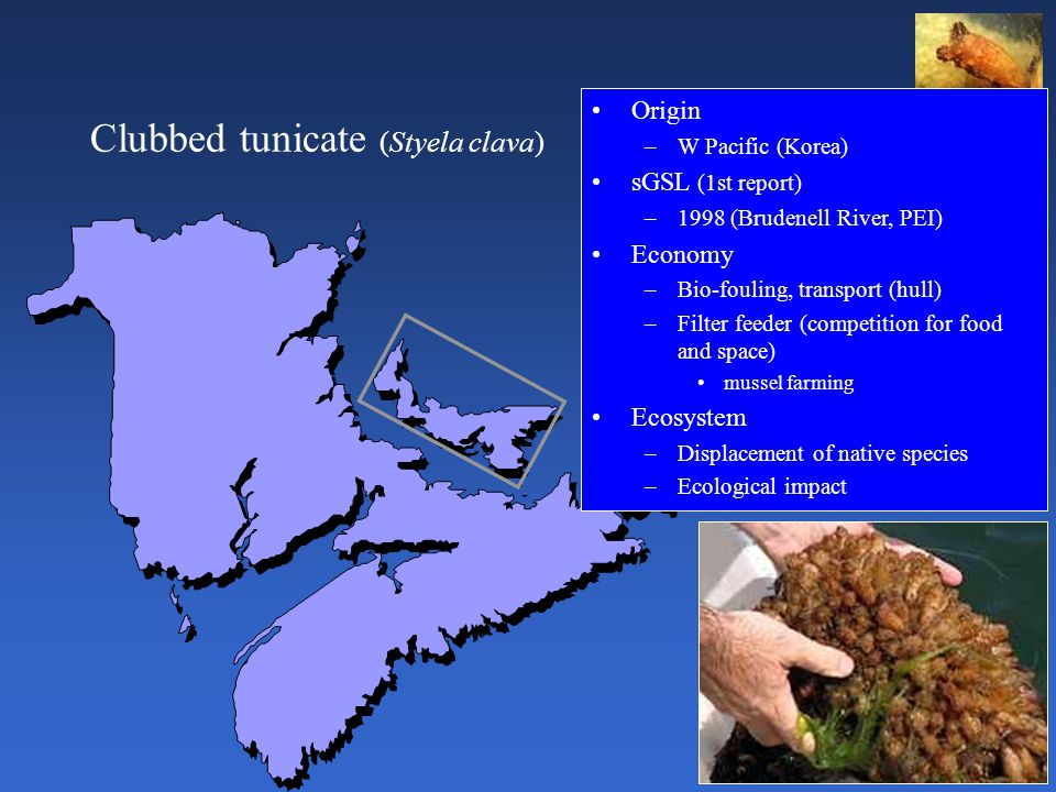 Clubbed tunicate (Styela clava) Origin –W Pacific (Korea) sGSL (1st report) –1998 (Brudenell River, PEI) Economy –Bio-fouling, transport (hull) –Filter feeder (competition for food and space) mussel farming Ecosystem –Displacement of native species –Ecological impact