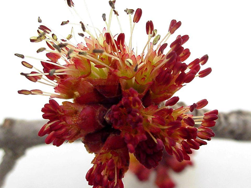 Flower  Spring  Red