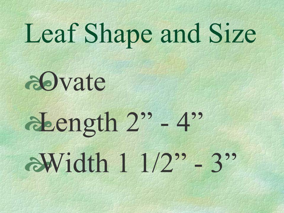 Leaf Shape and Size  Ovate  Length 2 - 4  Width 1 1/2 - 3