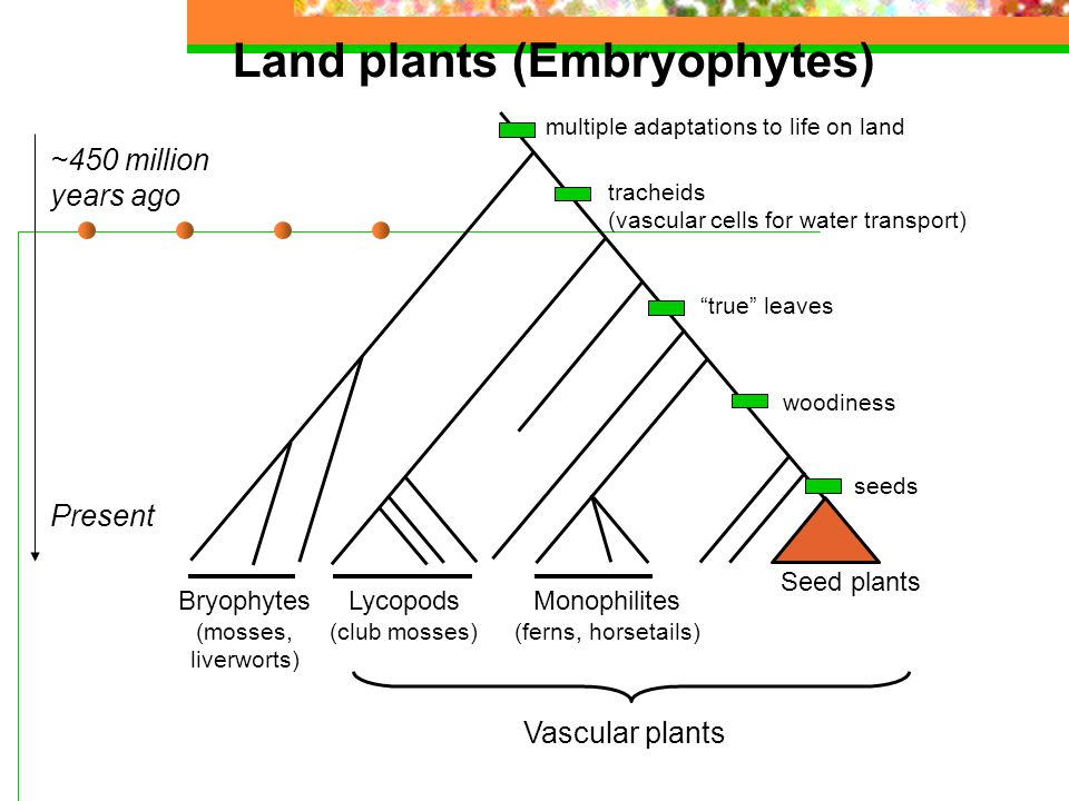 Land plants (Embryophytes) Vascular plants ~450 million years ago Present Bryophytes (mosses, liverworts) Lycopods (club mosses) Seed plants Monophilites (ferns, horsetails) woodiness seeds tracheids (vascular cells for water transport) true leaves multiple adaptations to life on land