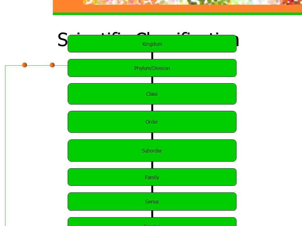 Scientific Classification Kingdom Phylum/Division Class Order Suborder Family Genus Species