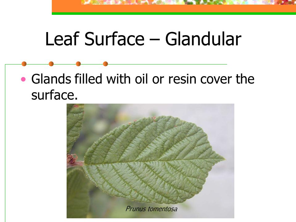 Leaf Surface – Glandular Glands filled with oil or resin cover the surface.