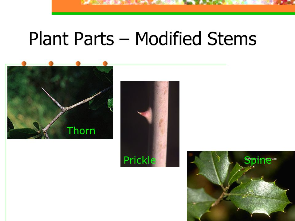 Plant Parts – Modified Stems Thorn Prickle Spine