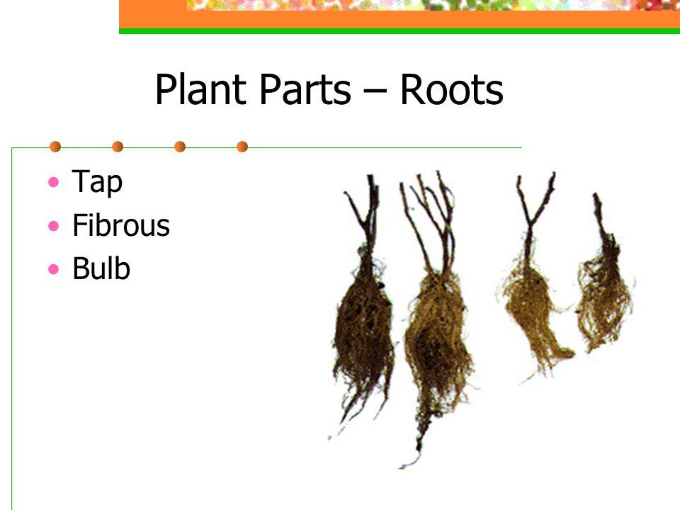 Plant Parts – Roots Tap Fibrous Bulb