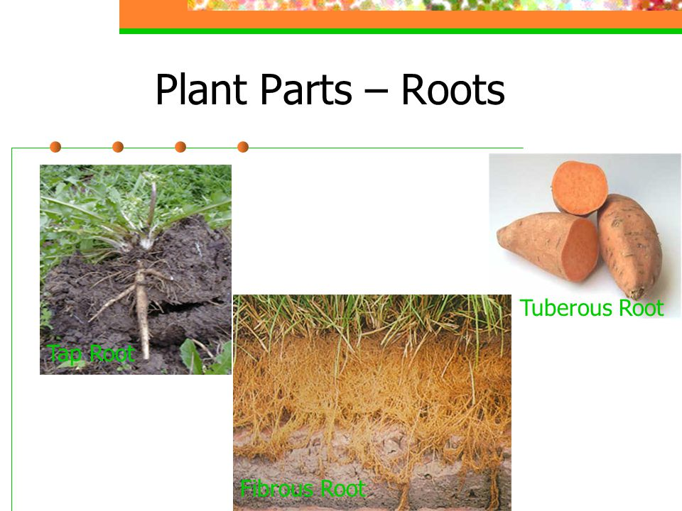 Plant Parts – Roots Tap Root Tuberous Root Fibrous Root