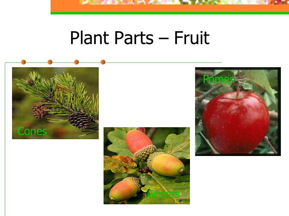 Plant Parts – Fruit Cones Acorns Pomes