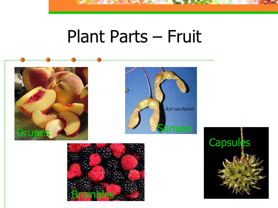 Plant Parts – Fruit Drupes Brambles Capsules Samara
