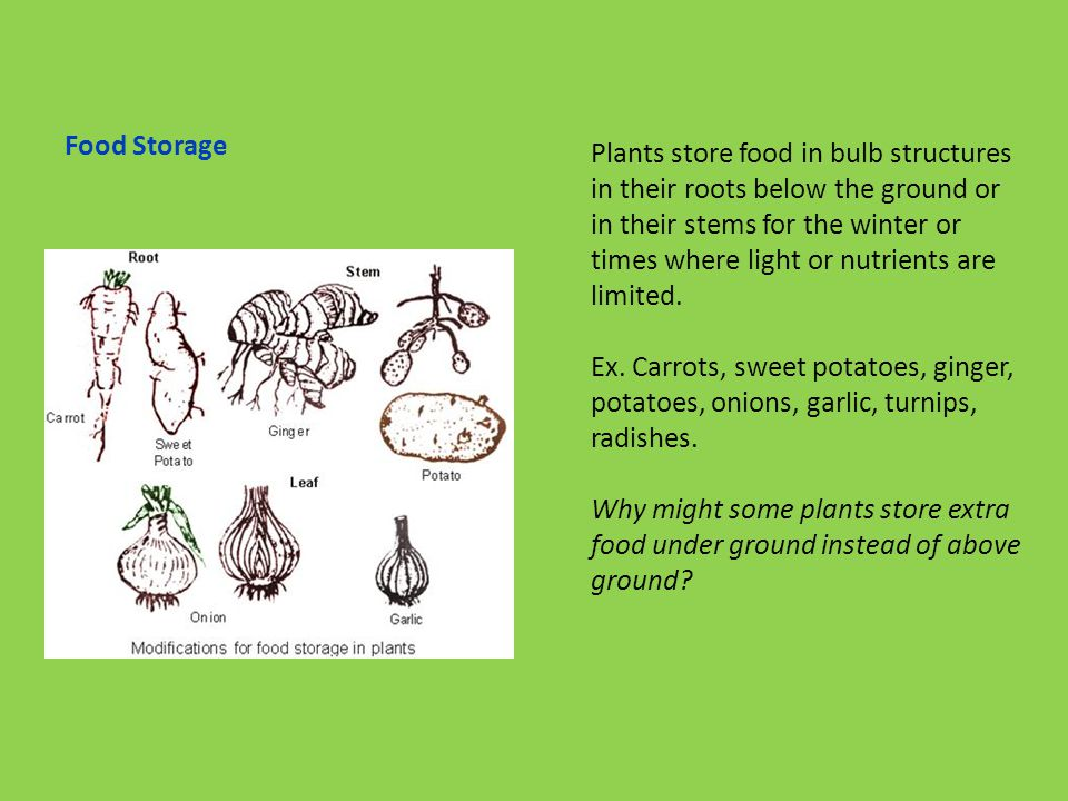 Food Storage Plants store food in bulb structures in their roots below the ground or in their stems for the winter or times where light or nutrients are limited.