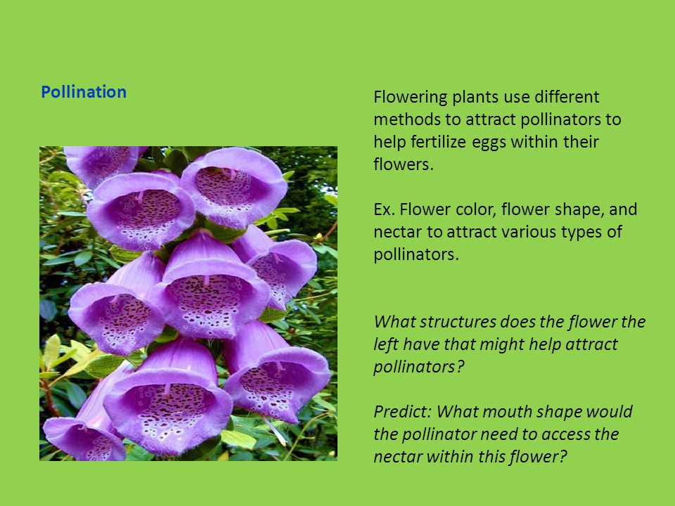 Pollination Flowering plants use different methods to attract pollinators to help fertilize eggs within their flowers.