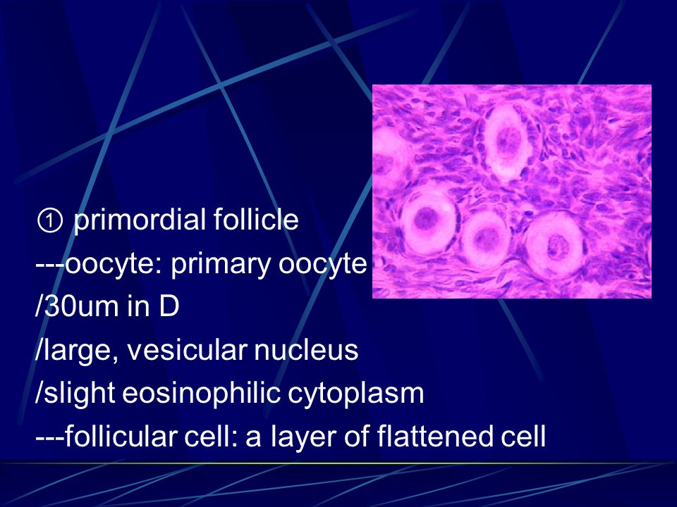 ① primordial follicle ---oocyte: primary oocyte /30um in D /large, vesicular nucleus /slight eosinophilic cytoplasm ---follicular cell: a layer of flattened cell